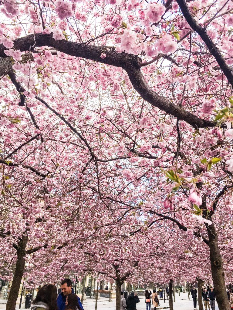 Körsbärsblommorna i Kungsträdgården